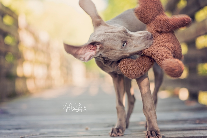 weimaraner puppy defeating a teddy bear