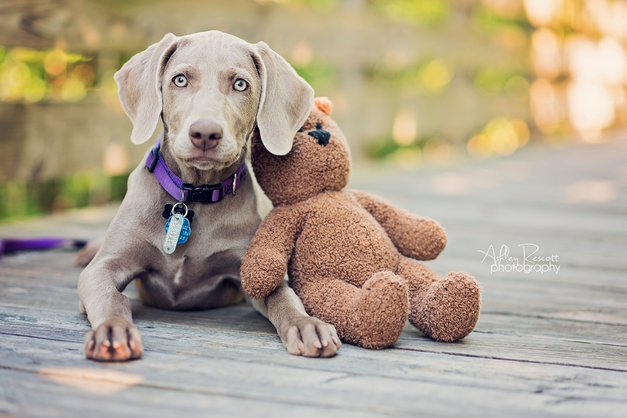 weimaraner puppy with teddy bear