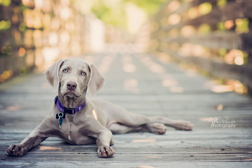 weimaraner puppy on boardwalk