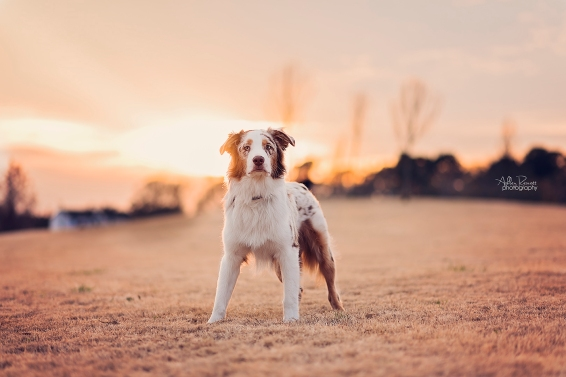 dog in field at sunset