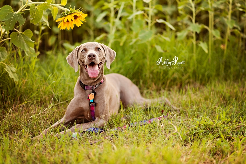 weimaraner in a sunflower field